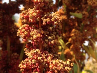 Cherry Vanilla quinoa flowers