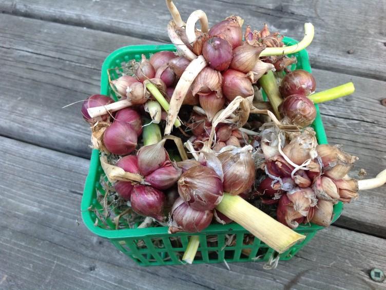 walking onion bulblets
