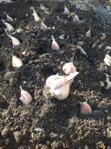 placing garlic cloves on the soil
